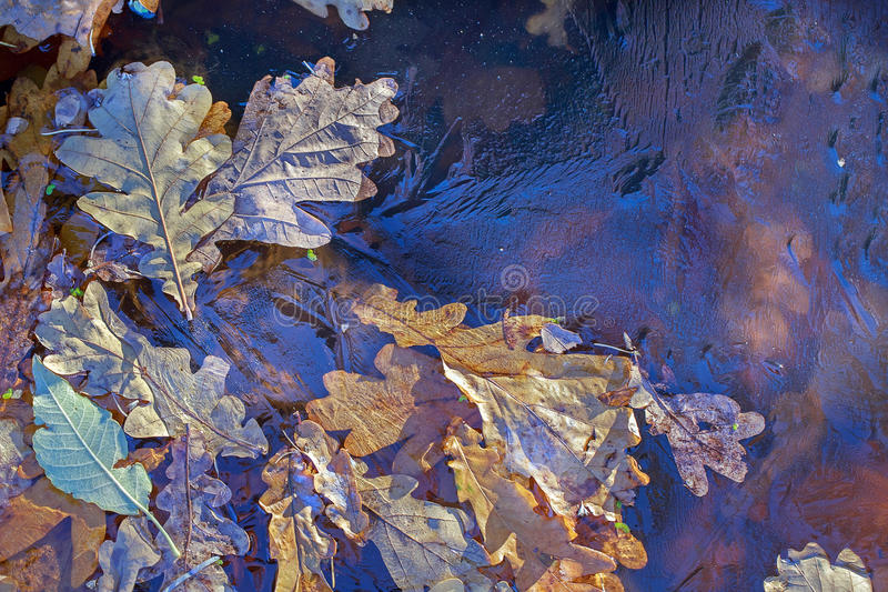 Background. Oak leaves and duckweed under the ice royalty free stock images