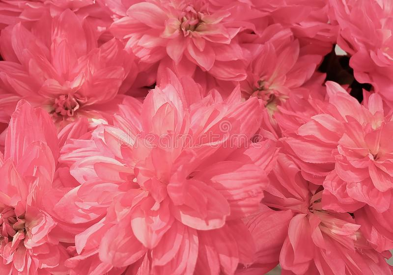 Background of Beautiful Pink Artificial Aster Flowers royalty free stock photography