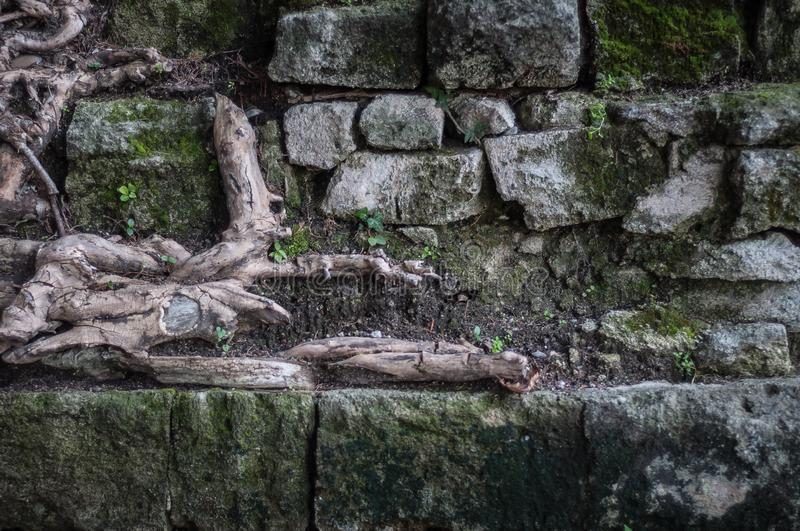 Background old stone wall with green moss and plant roots royalty free stock photos