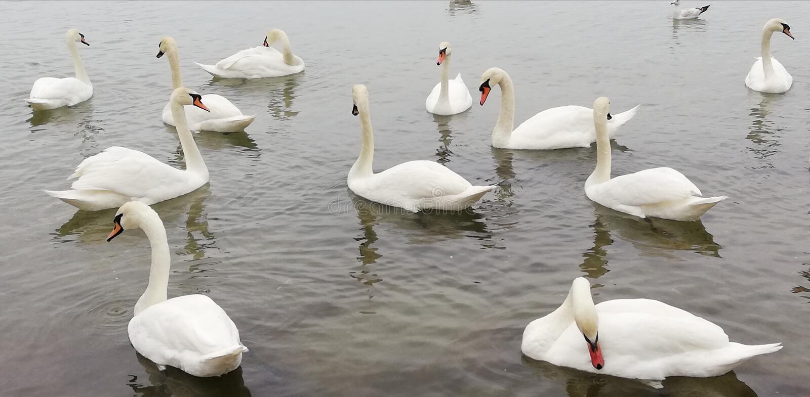 Background. Pack of beautiful white swans on the quiet surface of the sea. Graceful regal birds. royalty free stock photo