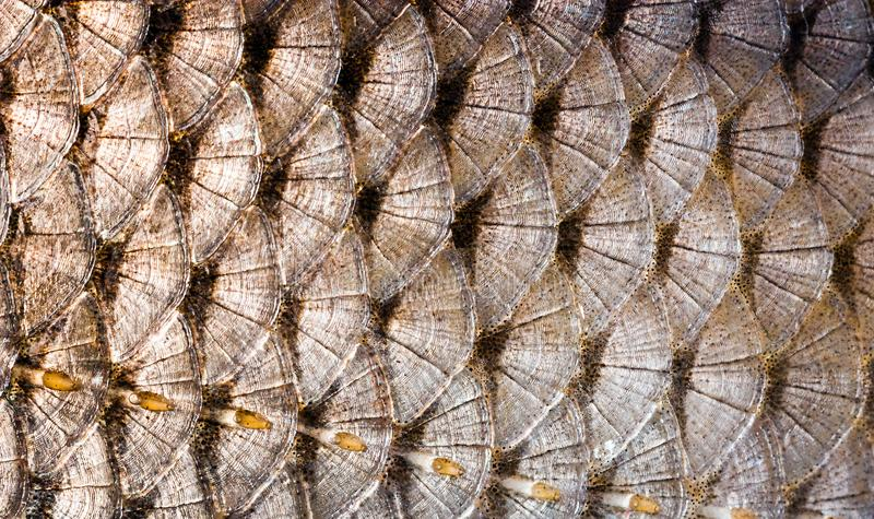 Background of Pattern fish scale big carp seafood stock images