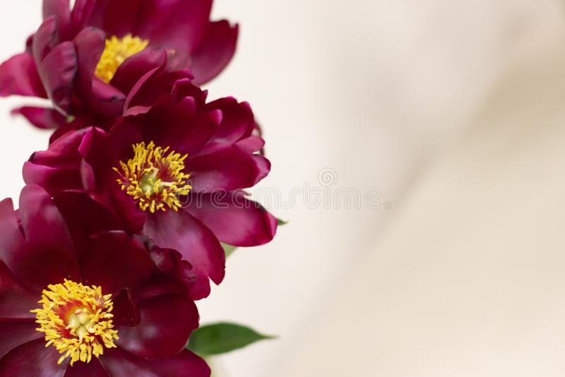Background with peonies. Burgundy peonies on light blurred background with space for copywriting. Frame for text with. Flowers. Greeting card with peonies. Flat royalty free stock images