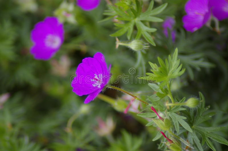 Violet flowers in summer. Background photo of violet bloom flower on summer meadow royalty free stock photography