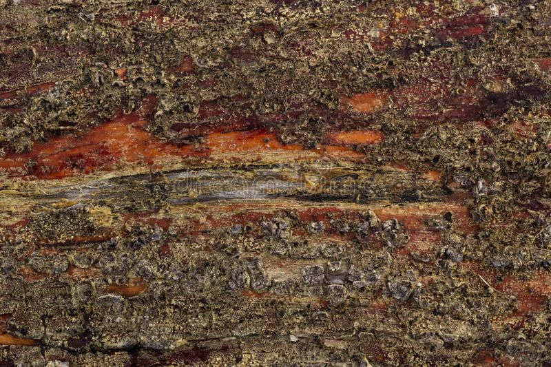 Background of pine bark of wet tree are covered by spores of the lichen royalty free stock photos
