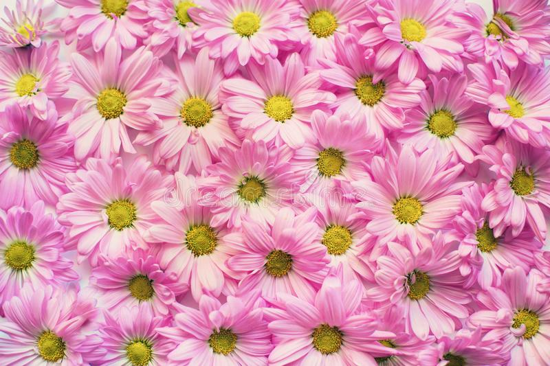 Background of pink daisy flowers stock photography