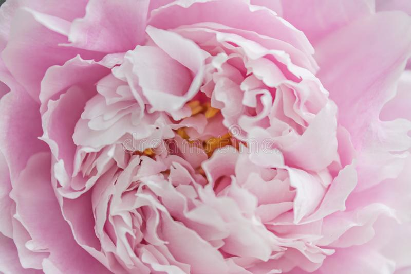 Background of Pink Flowers. Texture. Macro photography stock images
