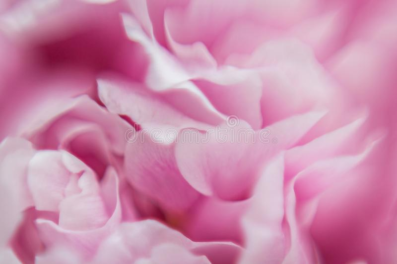 Background of Pink Flowers. Texture. Macro photography royalty free stock images