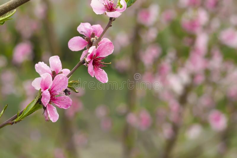 Peach tree flowers background stock photography