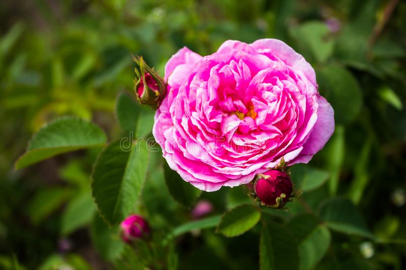 Background with pink peony flower in a garden, selective focus. Image with copy space. Flower poster stock photos