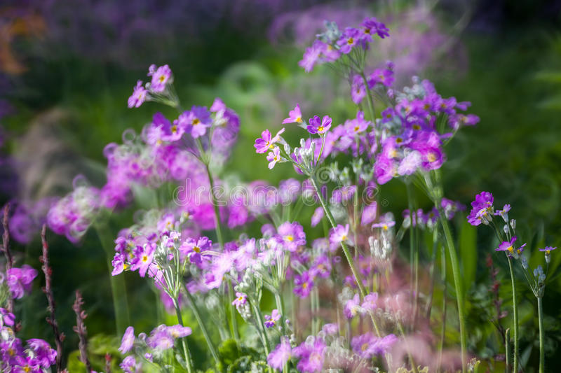 Background of purple flower royalty free stock photography