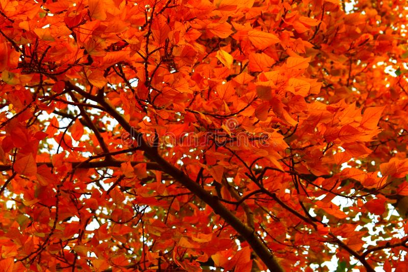 Background red autumn leaves  on the tree stock image