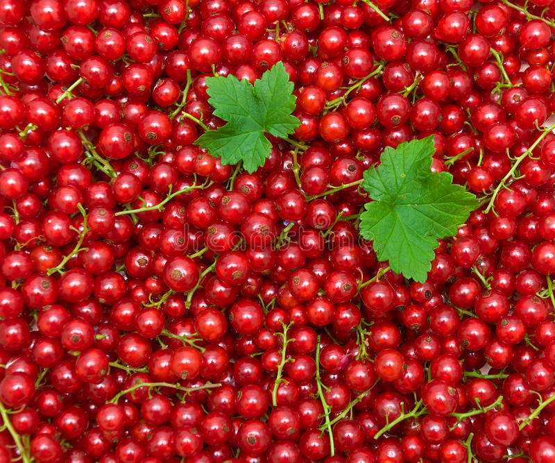 Background of red currant berries. top view - horizontal photo. Background of ripe juicy red currant berries. top view - horizontal photo royalty free stock image