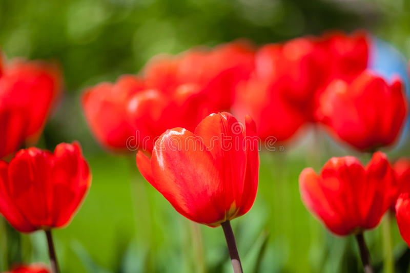 Background of red tulips royalty free stock photo