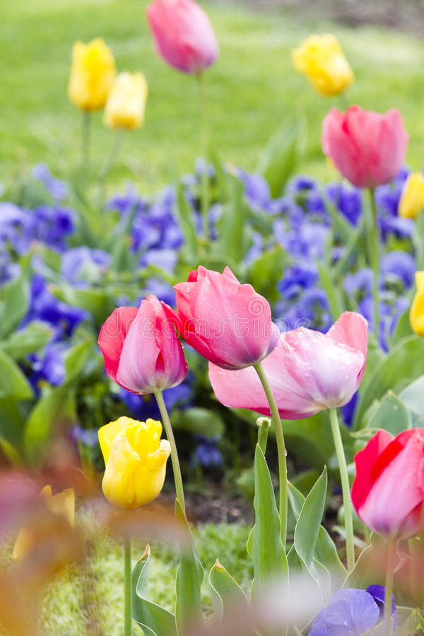 Download Background. Red, Yellow, Maroon Tulips. Stock Illustration - Image: 24255481