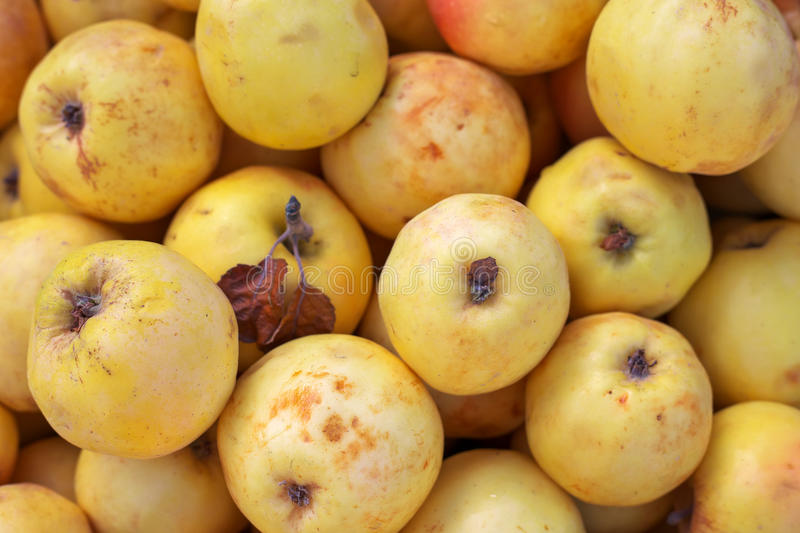 Background of ripe slightly spoiled colorful apples. royalty free stock photography