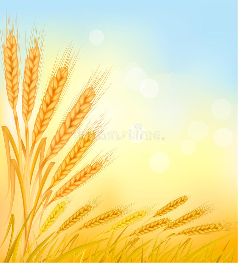 Background with ripe yellow wheat ears. Background with ripe yellow wheat ears, agricultural illustration stock illustration