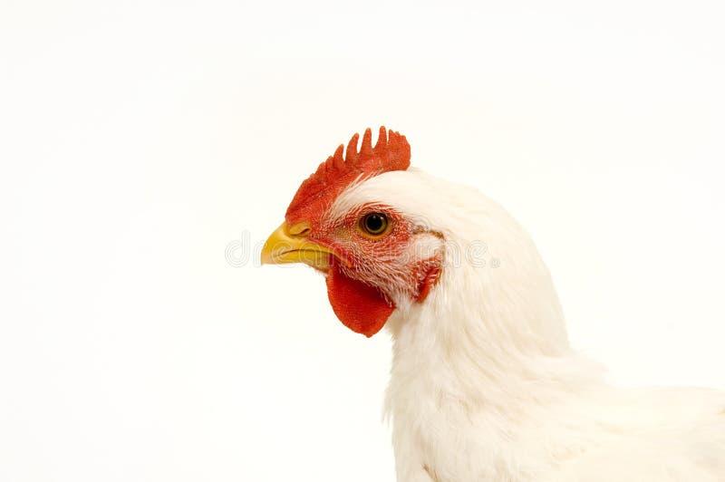 Download Background rooster white στοκ εικόνα. εικόνα από ράμφη - 1545437
