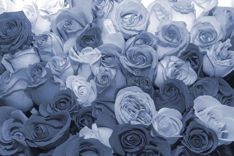 Background of rosebuds. Texture. Design. Toning. Blueprint. Effects. Close up. Background of bouquets of flowers. Roses. Design. Toning. Close up stock photo