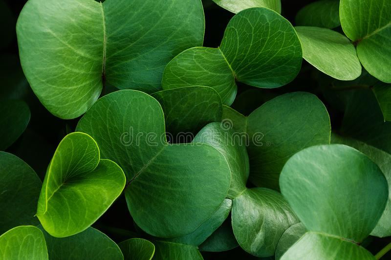 Background of saturated green leaves. Close up growing plant. Pohuehue beach runners or morning glory. Top view, photo for backdrop, design element in natural royalty free stock photo