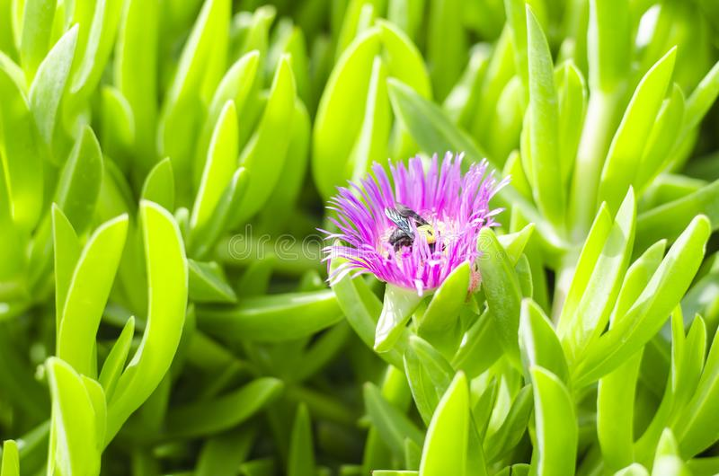background of a sea fig or ice plant, the Carpobrotus edulis close up. A bumblebee pollinates a flower. Best green background. stock photos