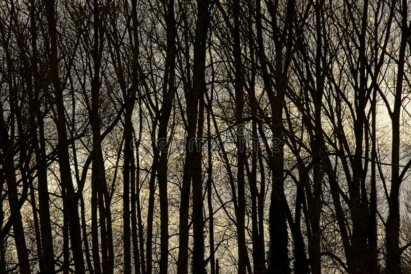 Silhouettes of ash trees in the forest in evening light. Background of silhouettes of ash tree trunks and branches in the forest in evening light stock photos
