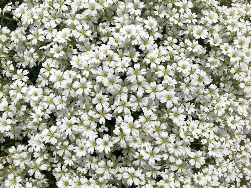 Background - small white flowers. stock photography