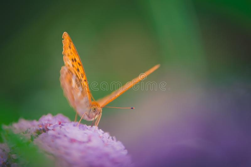 Cardinal orange butterfly insect alone posed on a pink flower. The background is soft and harmonious and invites the viewer to dream royalty free stock images