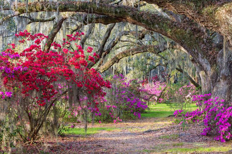 Southern Azalea Garden South Carolina. Background of a southern garden with live oak trees arching over spring blooming red and pink azaleas in the lowcountry of stock image