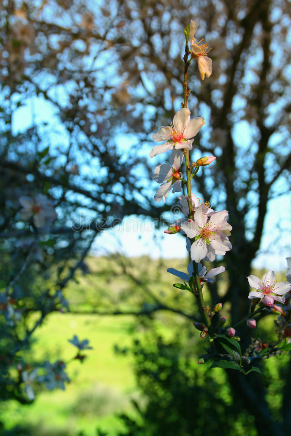 Background of spring white cherry blossoms tree. Selective focus royalty free stock images
