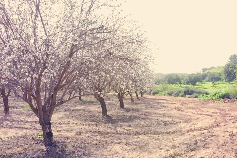 background of spring white cherry blossoms trees plantation. selective focus royalty free stock image