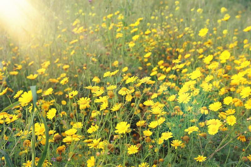 Background of spring yellow beautiful flowers. selective focus. ×¥ royalty free stock photo
