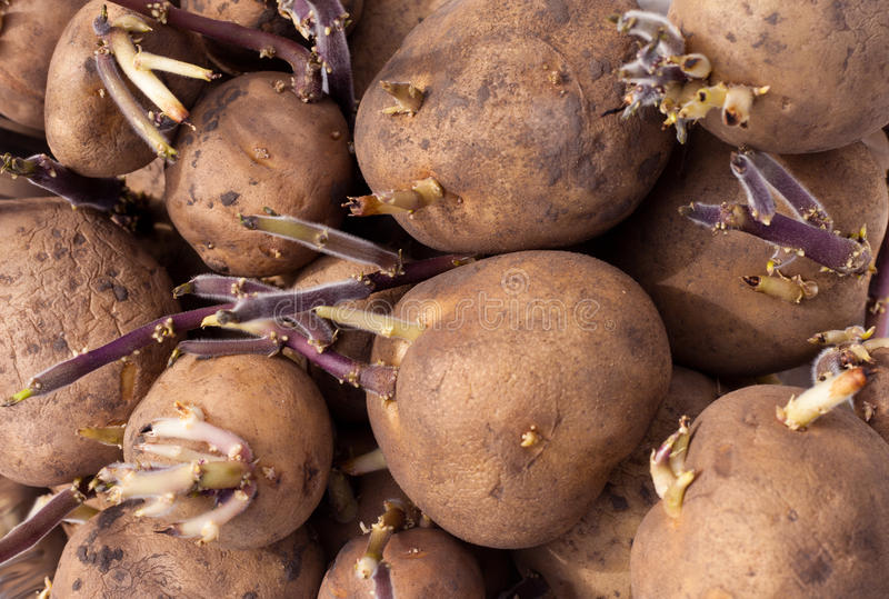 Background of sprouting Yukon Gold seed potatoes royalty free stock photo