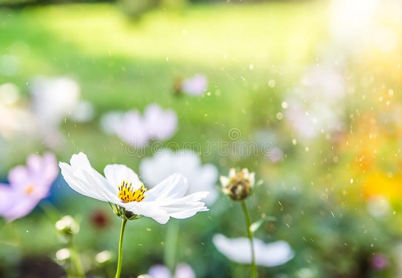 Background. Summer. daisy in the foreground, flower meadow stock photo