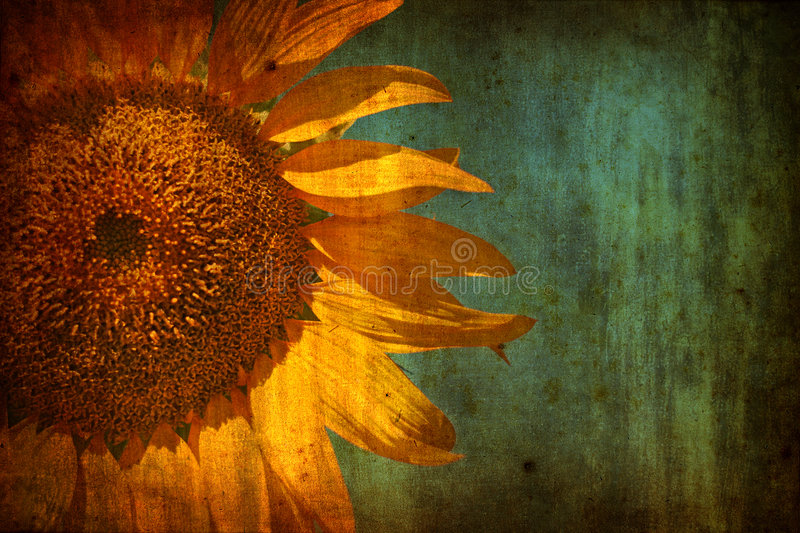 Background with Sunflower over grunge texture royalty free stock images