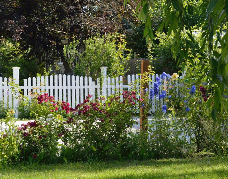 Red Roses Blue Delphinium garden bed white picket fence horizontal stock photography