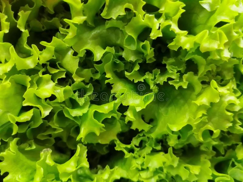 Background, texture, close-up of green and fresh lettuce leaves royalty free stock image