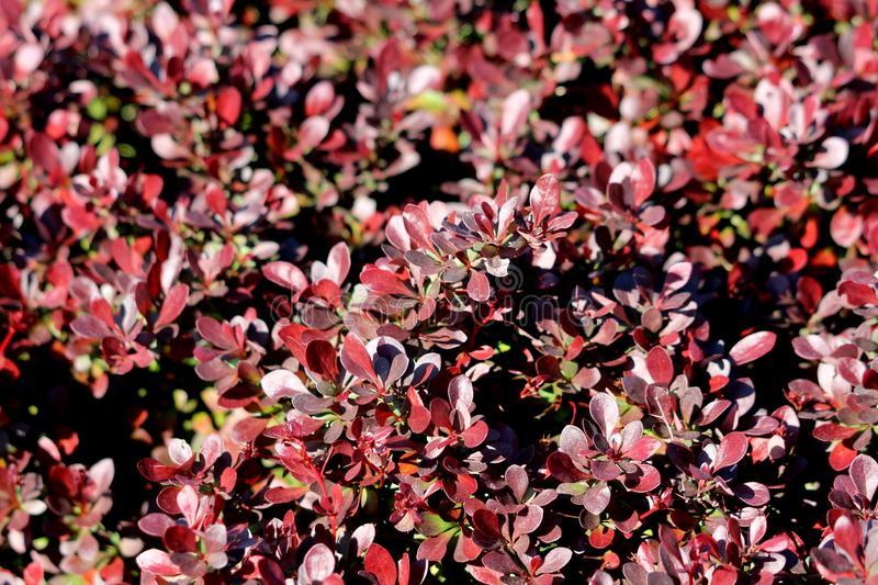 Background texture of dark red leaves on Hedge or Hedgerow closely spaced densely planted shrubs in local garden. On warm sunny spring day royalty free stock photo