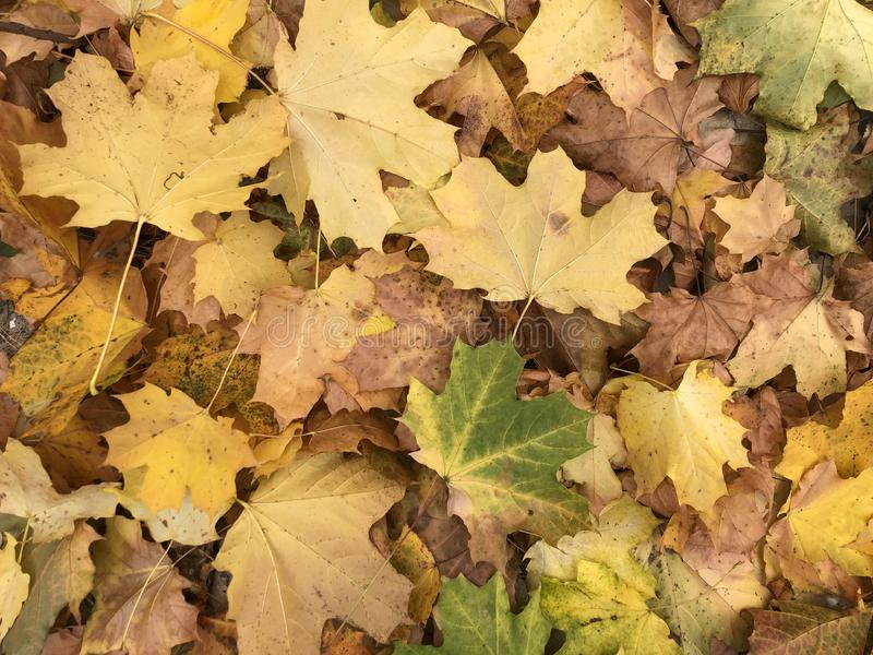 Background texture: fallen leaves in the autumn forest. Golden autumn in nature. Maple and birch leaves in the park royalty free stock photos
