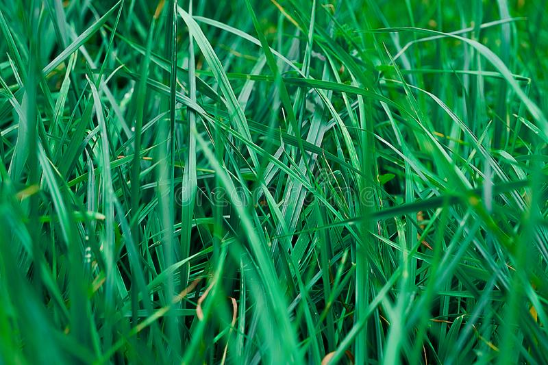 Background or texture in the form of green summer grass.  royalty free stock photos