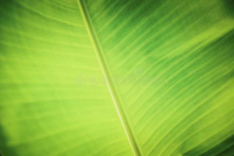 Background texture with green banana leaves royalty free stock photography