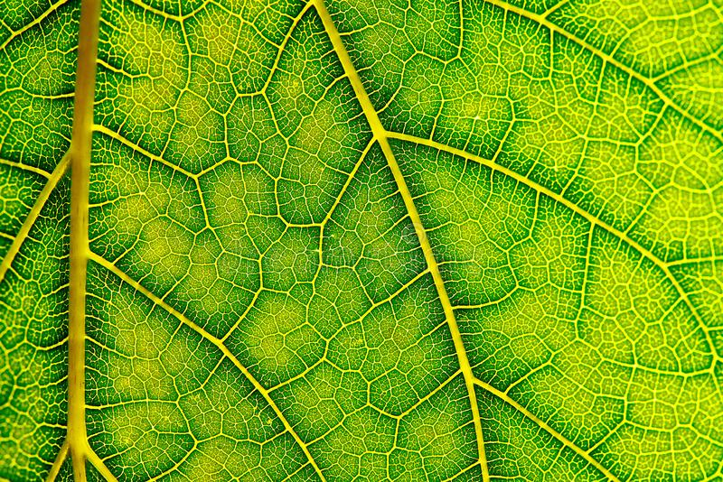 Background texture of green leaf. Macro photography of green leaf royalty free stock image