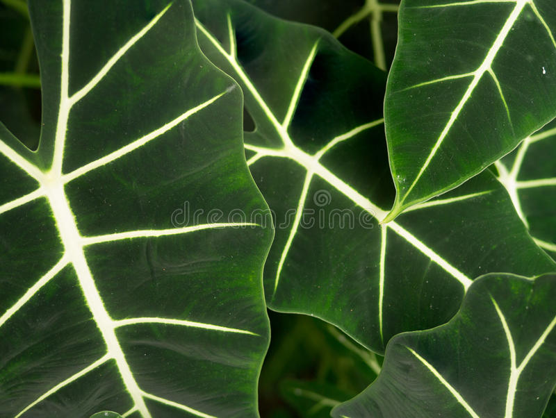 Large Green Leaves Stock Photography