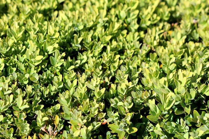 Background texture of light green leaves on Hedge or Hedgerow closely spaced densely planted shrubs in local garden. On warm sunny spring day stock image