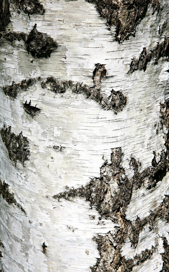 Free Background Texture Of Birch Bark Royalty Free Stock Photography - 32432237