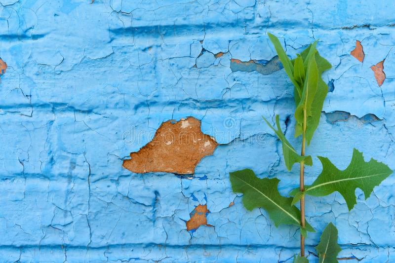 Background, texture of the old urban brick wall is painted blue and cracked by the effects of time and weather stock photo