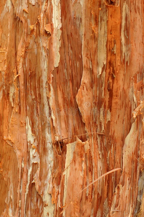 Background Texture of a Paperbark Tree royalty free stock image