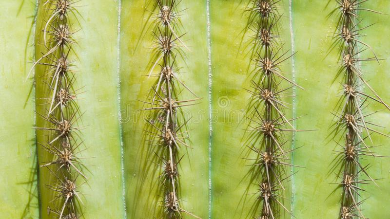 Background texture rows of cactus needles royalty free stock image