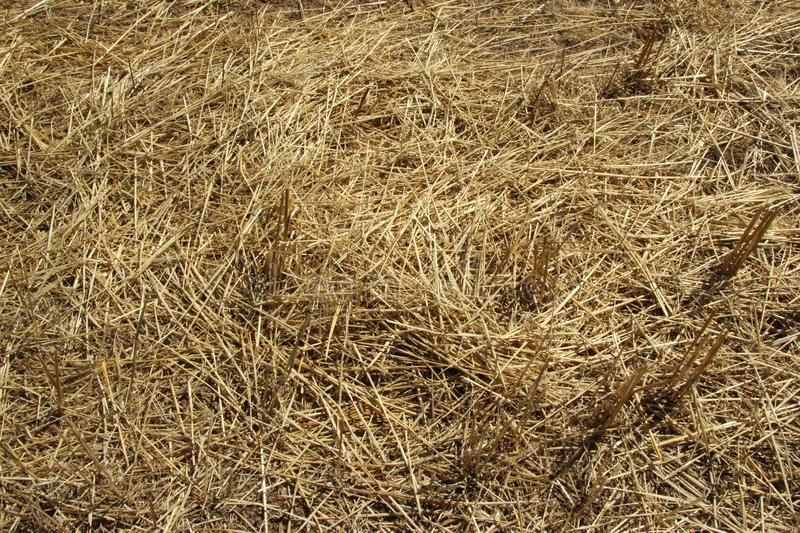 Background texture. Straw on a sloping field in spring royalty free stock photos