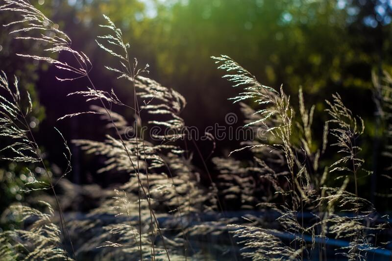 Background or texture of thin golden and green spikelets in grass under suns rays. stock photography