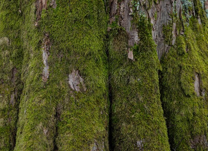 The background or texture of the tree trunk covered with green moss. And lichen royalty free stock image